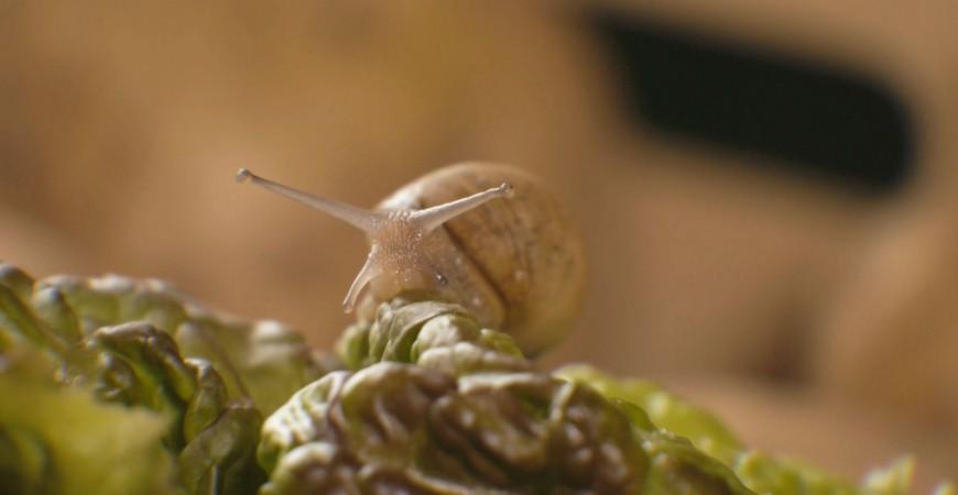 El retorno del caracol a la lechuga