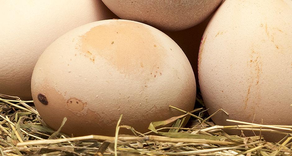 Si quieres comprar huevos camperos online, los huevos de Galiña de Mos (Gallina de Mos) de David y Jorge son los mejores que encontrarás. De toma pan y moja.